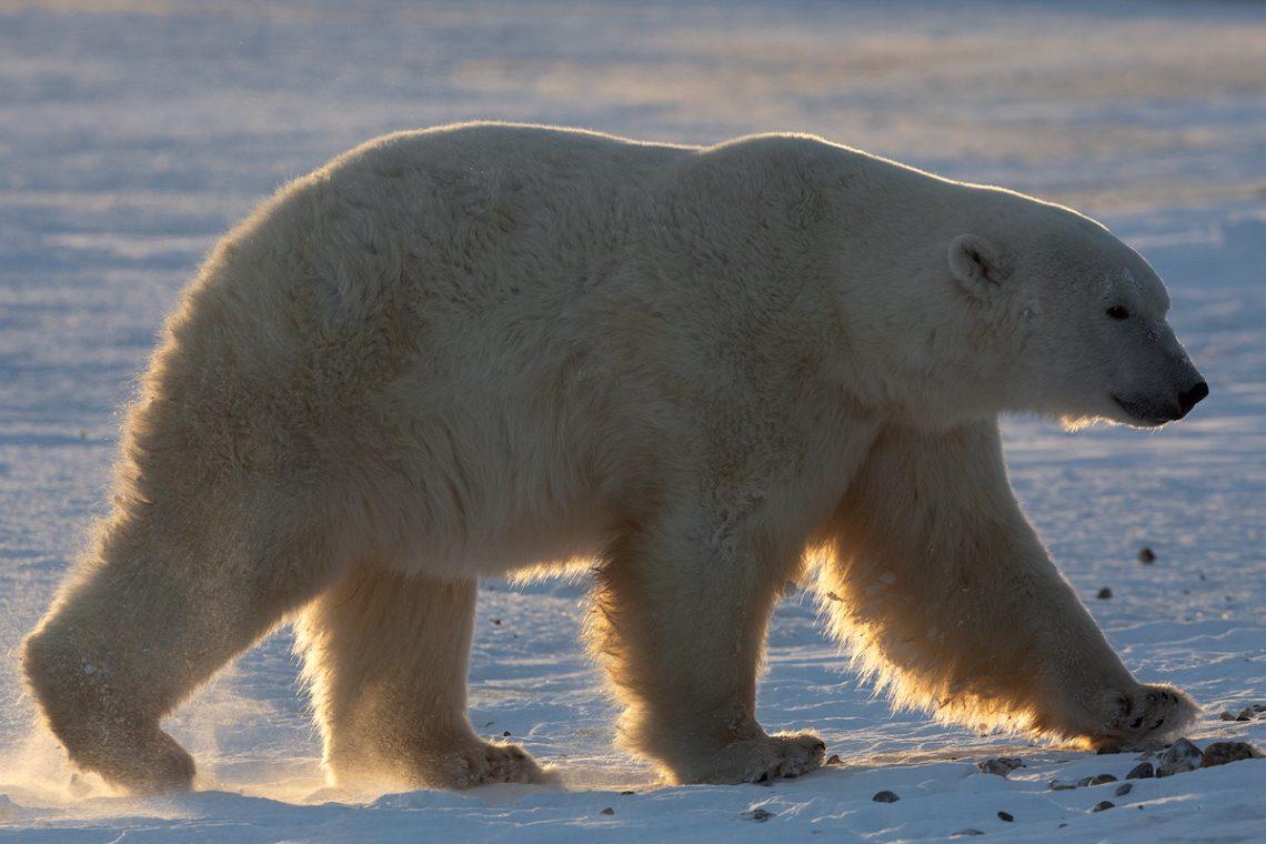 orsi polari churchill canada